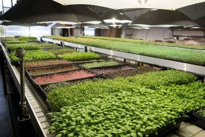Supplier Fresh Microgreens